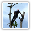 Climber cutting down a tall tree